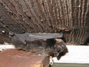 Летучая мышь под крышей