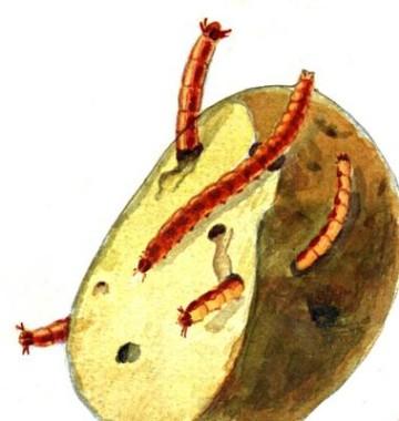 Проволочник в картошке как избавиться