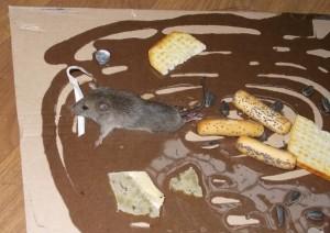 Как используется клей от мышей