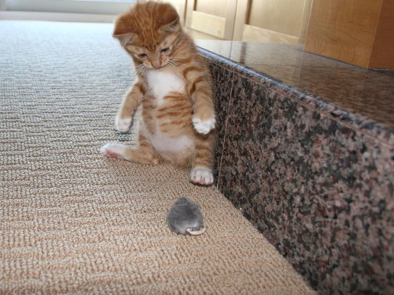 Кот боится мыши