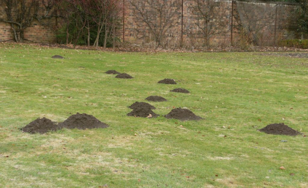 Признаки крота – выброшенная на поверхность земля в виде холма, мешающая работать на участке.