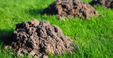 Польза и вред от кротов: есть ли плюсы такого соседства