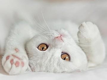 Как вывести блох у кота, кошки или маленького котенка