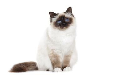 Кот чешется, но блох нет -ТОП 6 причин зуда у котов, кошек и котят
