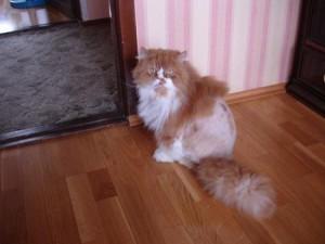 Как лысеет кот