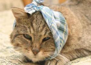 Отит у кошек - частая причина зуда в области головы