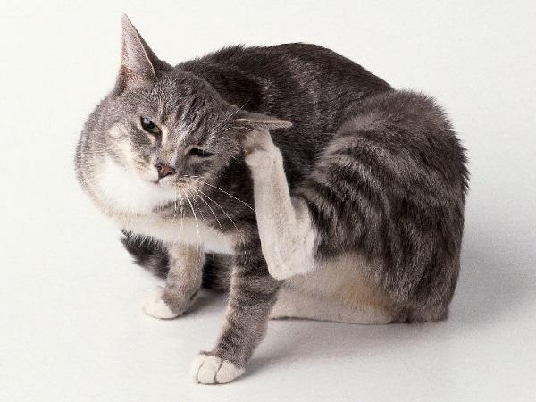От чего у домашней кошки блохи