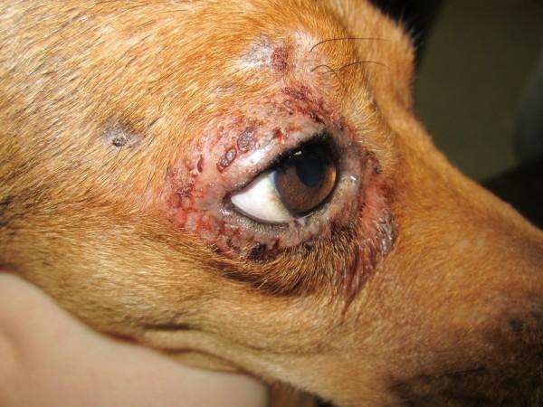 Повреждения кожи вокруг глаза, вызванные личинками клеща
