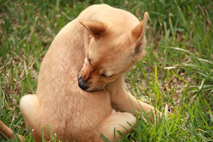Собака кусает себя из-за блох