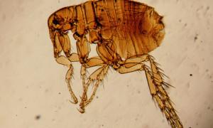 Блоха под микроскопом