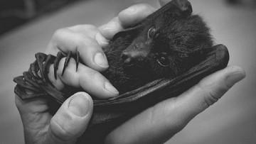 Укусила летучая мышь: что делать, куда обращаться, чем лечиться?