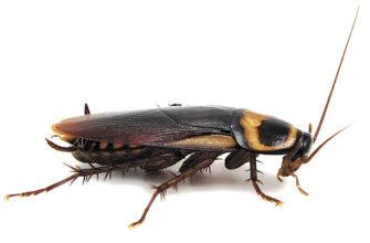Черные тараканы в квартире как избавиться