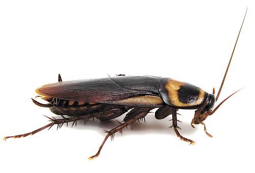 Черные тараканы как избавиться в домашних условиях