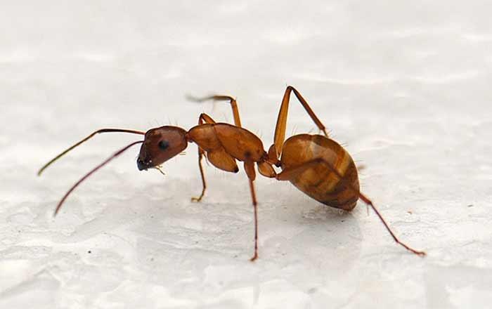 Как вывести маленьких рыжих муравьев в квартире