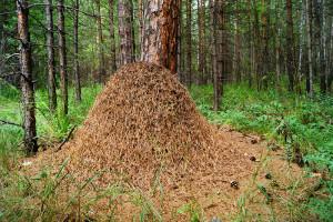 Лесной муравейник
