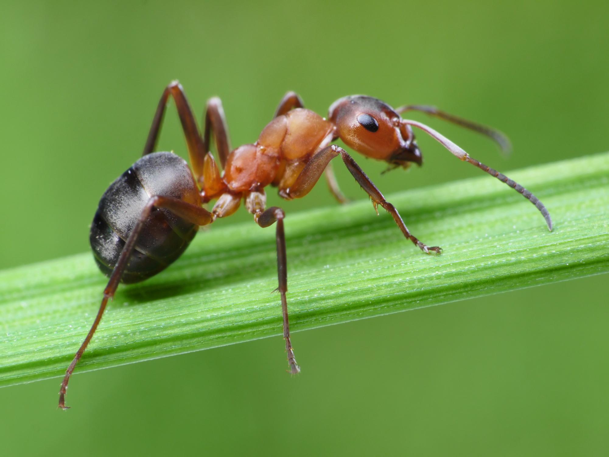 Как прогнать муравьев с огорода