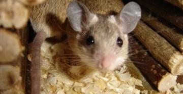 Мыши в доме. Приметы