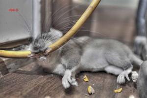 Мышь грызёт провода