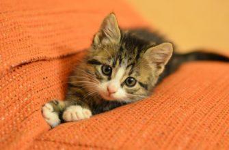 Как удалить запах кошачьей мочи с дивана