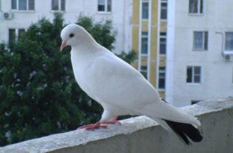 Как избавится от голубей на балконе