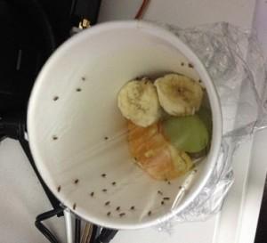 Как избавиться от дрозофилы в квартире без применения химии