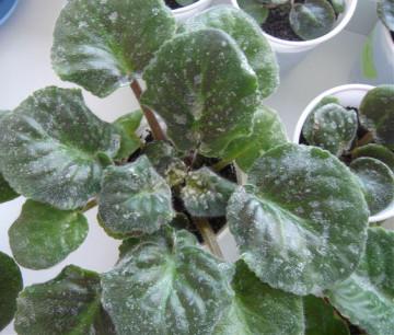 Как избавиться от мучнистой росы на фиалках