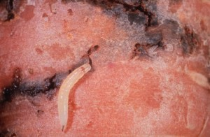 Личинки морковной мухи