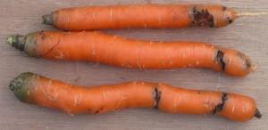 Внешний вид моркови, заражённой личинками морковной мухи