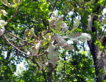 как избавиться от мучнистой росы на дубе