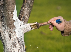 Побелка деревьев в саду весной