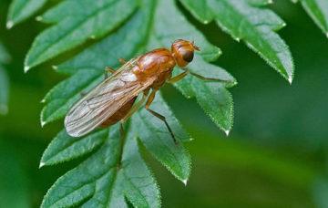 Чем обработать лук от луковой мухи? ТОП-8 Народных средств борьбы с луковой мухой