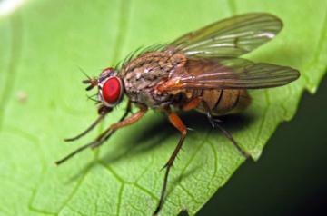 фото луковой мухи (как выглядит, чем живёт)