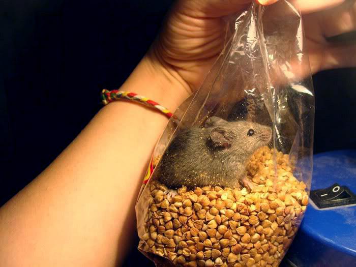 Как избавится от мышей в квартире
